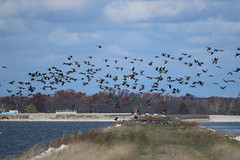8F9A1080.jpg (ericvdb) Tags: bird geese canadiangeese muskegon wastewaterplant
