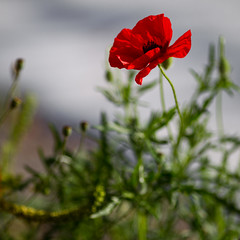 October Beauty (zeh.hah.es.) Tags: red flower green rot grey schweiz switzerland blossom zurich gray grau grn zrich blume blte kreis5 zehhahes