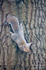 20151031_103017 (mr_malcolm.fletcher1) Tags: nature cemetery graveyard squirrel wildlife location scarborough northyorkshire deanroad