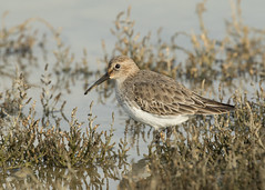 Dunlin - Calidris alpina (Gary Faulkner's wildlife photography) Tags: dunlin sussexbirds