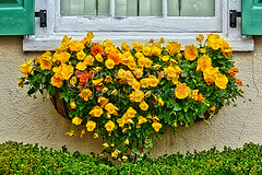 Charleston Window Planter 1 (Jerry Fornarotto) Tags: summer house plant flower detail sc home window nature yellow wall garden outside spring colorful exterior blossom box gardening outdoor vibrant decoration southcarolina container charleston shutter bloom hanging summertime petunia planter growl windowsill blooming jerryfornarotto