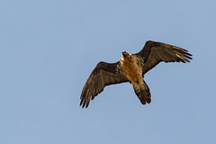 Bearded Vulture Col de la Colombiere (AndyB@darleyD) Tags: france alps beardedvulture lammergier gypaetebarbu