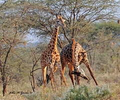 "JHG_5931-b Masai Giraffe preparing to get ""thumped hard"" by a rival male, Tsavo West, Kenya. (GavinKenya) Tags: africa wild nature animal june john mammal photography gavin photographer kenya african wildlife july grand safari dk naturephotography kenyasafari africansafari 2015 safaris africanwildlife africasafari johngavin wildlifephotography kenyaafrica kenyawildlife dkgrandsafaris africa2015 safari2015 johnhgavin"