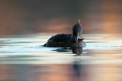 Mustache (Adam Wang) Tags: fish bird nature duck wildlife hoodedmerganser