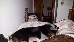 family blue dog pet night utah bed sleep north laika cuddle ogden heeler