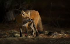 Red Fox in epic light (Rob Lonsberry Photography) Tags: redfox canid epiclight wildlife beautiful nature roblonsberry recurvirostraamericana stunning nikon nikon500mmvrii nikond800