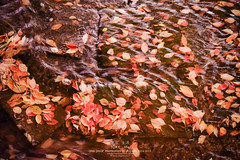 Tokyo Life_Autumn_48_2014 (Pop_narute) Tags: autumn red leave water river season flow movement gone