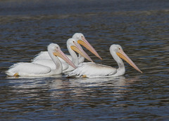 American White Pelicans (AllHarts) Tags: ngc americanwhitepelicans sardisdam feathersbeaks naturescarousel challengeclubchampions illuminationsinthewild sarsisms