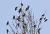 Étourneau sansonnet (Sturnus vulgaris) (yann.dimauro) Tags: france animal fr extérieur oiseau rhone rhônealpes givors ornithologie