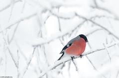 Punatulkku (mattisj) Tags: aves birds eläimet eurasianbullfinch fringillidae fåglar kemi–tornionseutu lapinlääni lapinmaakunta linnut luonnonilmiöt maisema passeriformes peipot punatulkku pyrrhulapyrrhula suomi särkinäräntie324 tornio varpuslinnut vuodenajat kuura lumi talvi domherre