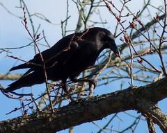 American Crow (Dendroica cerulea) Tags: americancrow corvusbrachyrhynchos corvus corvidae corvoidea passeri passeriformes psittacopasserae eufalconimorphae aves birds crow winter raritanestuarycbc johnsonpark highlandpark middlesexcounty nj newjersey