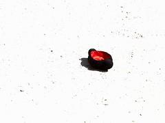 boca arriba (aficion2012) Tags: arles novillada septembre 2016 blohorn jalabert corrida france francia andy younes novillero faena toros bull fight bullfight toreaux montera
