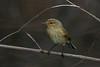 _F0A7984.jpg (Kico Lopez) Tags: galicia lugo miño mosquiterocomún phylloscopuscollybita spain aves birds rio