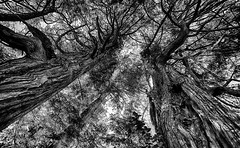 Visiting The Giants (AnyMotion) Tags: giants riesen canopy blätterdach tree baum rainforest regenwald forest wald 2016 anymotion travel reisen nature natur tofino botanicalgarden vancouverisland britishcolumbia canada kanada 7d2 canoneos7dmarkii bw blackandwhite sw