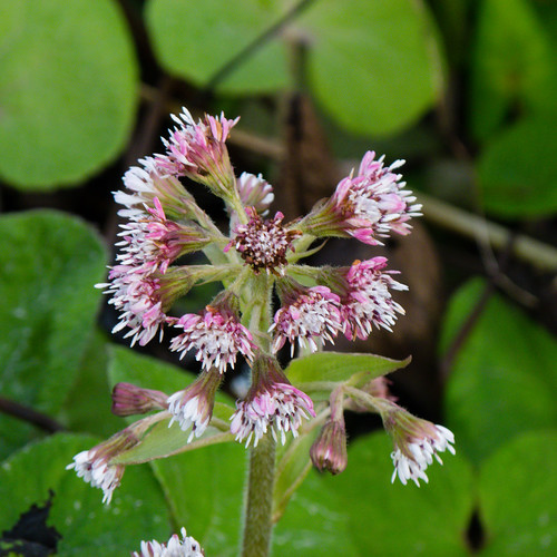 Butterbur beginning to flower, December