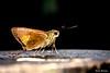 Como en su trono! (Yures) Tags: macrofotografía mariposa