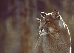 Des fois je rêve.... (Bernardvinc) Tags: cat eyes regard yeux light lumière ambiance nikon nikkor