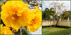 Cochlospermum vitifolium flore pleno, Udon Thani, Thailand (Gösta Knochenhauer) Tags: 2017 january thailand thai tree flower yellow panasonic lumix fz1000 dmcfz1000 plant udon thani p90803912nik p90803912 nik