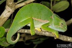 Chamaeleo dilepis - Flapneck Chameleon. (Tyrone Ping) Tags: chamaeleo dilepis flapneck chameleon wwwtyronepingcoza tyroneping reptile chameleons chamelon wild herps herping fieldherping africa african cac canon7d 100mmmacrof28