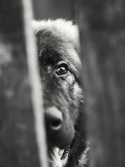 """""""Little"""" dog (deritomi84) Tags: dog blackandwhite cute helios olympus olympuspen animal portrait"""