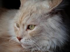 Waiting For Sun (Alex M. Wolf) Tags: cat katze kater sid sidney gato gatto felin feline felidae cato portrait alexmwolf fuji xe2s mainecoon chat matou gattone felino