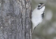 Hairy Woodpecker2_3428 (Little Frieda) Tags: hairy woodpecker