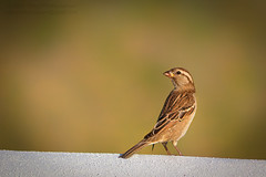 The Exorcist's Sparrow (Mark Photography 2017) Tags: angle animal animalia architectural architecture back background beast bird blurred bokeh brown buntings color colour composition crafts detail effect element environmental exterior feather focus format framing genre horizontal landscape life light lighting natural nature orientation outdoor passeriformes photo photography setting shade sparrow structure style travel view vignette wall wild wildlife worldartscraftsphotographysettingexterioroutdoorphotogenrestyletypetravelwildlifenatureorientationlandscapelightingnaturallightframingcompositionenvironmentaldetailformathorizontalfocusbackgroundblurredeffectbokehvignetteang
