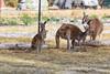 Kangaroo Family Group (Astronomy*Domine) Tags: kangaroo roo yanchep national park perth westernaustralia wildlife
