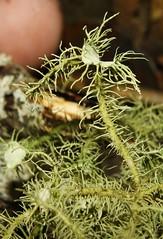 Usnea strigosa (Bio P.R.) Tags: usnea liquen parmeliaceae