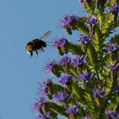 Landing permitted (Chris Denning Photos) Tags: beeonechium tresco islesofscilly nectar england