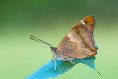 Kleine Schillerfalter │ Lesser Purple Emperor │Apatura ilia f. clytie (Bluesfreak) Tags: insekten schmetterlinge tagfalter kleineschillerfalter lesserpurpleemperor apaturailiafclytie lepidoptera unterfranken taubertal