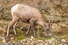 Bighorn Ewe -6065-Edit (Eric Gofreed) Tags: bighorn bighornsheep ewe wyoming yellowstone