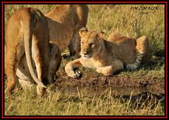 YOUNG SUB-ADULT MALE WITH LIONESS (Panthera leo)  ......MASAI MARA......SEPT 2016 (M Z Malik) Tags: nikon d3x 200400mm14afs kenya africa safari wildlife masaimara keekoroklodge exoticafricanwildlife exoticafricancats flickrbigcats lioncubs leo