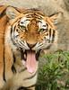 Miau.... (Seahorse-Cologne) Tags: tiger zoo berlin raubkatze bigcat
