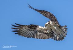 DSC_5606 (mikeyasp) Tags: ospreys birds inflight nests outdoors nature pandionhaliaetus evergladesnationalpark everglades