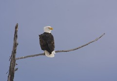 Bald Eagle (robblansdowne) Tags: brilliant