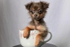 Mochi (E Cebollero) Tags: homestudio flashphotography dogportraits teacup gray littledogs teacupdogs pomchi dogs dog