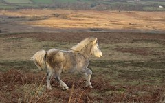 Heading Home to the Herd (gowerponies) Tags: gower pony horse behaviour natal dispersal moving out foals youngsters wild