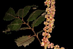Cupaniopsis flagelliformis (andreas lambrianides) Tags: cupaniopsisflagelliformis sapindaceae cupaniopsiscurvidentata australianflora australiannativeplants australianrainforests australianrainforestplants arfp qrfp cyrfp browntuckeroo arfflowers redarfflowers