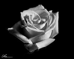 low key white rose (Anthony. B) Tags: nikon d3100 55200mm rose blackandwhite stilllifephotography stilllife lowkey lowkeyphotography shadow highlights