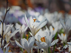 Šafran (Saffron, Safran, Crocus) (Tihomir Pavlović) Tags: safran crocus šafran saffron flower plant outdoor nature wood light macro close spring zoom depth vividstriking