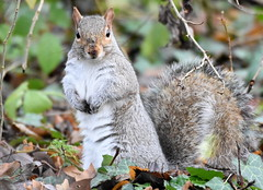 Grubby faced squirrel. (pstone646) Tags: squirrel nature animal wildlife woodland kent ashford watching closeup fauna mammal rodent