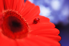 Gerbera 🐞 👠 (ElenAndreeva) Tags: red spring color blue sun light summer bokeh beautiful closeup cute colors insect canon garden top soft dream composition sweet focus bug best amazing nature photograph macro flower gerbera ledybug tones reds sky beauty buds ladybug new naturephoto artwork wow