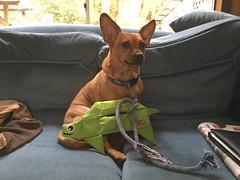 Little Burrito's New Turtle (Dixie & Trixie & Burrito) Tags: chiweenie turtle green playfulpuppy