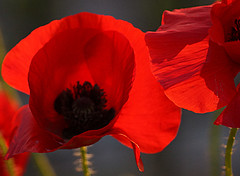 It's a good day to have a great day (genevieve van doren) Tags: poppies coquelicots red rouge