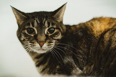 Carly - 7 year old spayed female