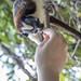 Geoffroy's tamarin monkey - wild titi monkeys gamboa panama pandemonio 2017 - 22