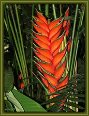 Scharlachrote Hummerschere / Heliconia bihai (Martin Volpert) Tags: heliconiabihai scharlachrotehummerschere mavo43 blüte blumen flor cvijet kvet blomster flower floro õis lore kukka fleur bláth virág blóm fiore flos žiedas zieds bloem blome kwiat floare ciuri flouer cvet blomma çiçek pflanze botanischergarten justusliebiguniversität giesen