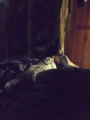 #foxterri #toydog (Fershift) Tags: foxterri toydog