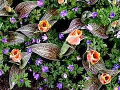 photo - Keukenhof Gardens (Jassy-50) Tags: photo netherlands holland garden flower tulip lookdown keukenhofgardens keukenhof